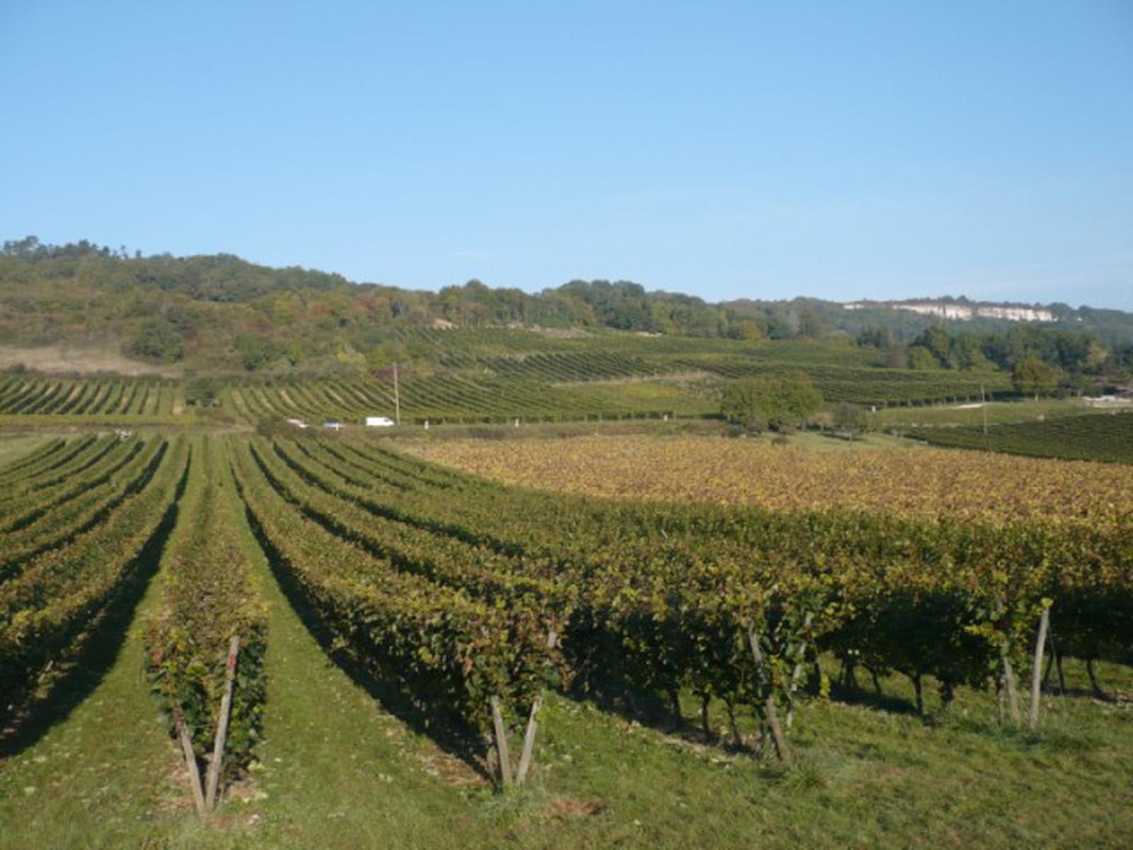 Domaine labry vigne en lyre - Planter vigne raisin de table ...